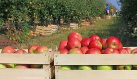 Vagn mycket av äpplen Arkivbilder