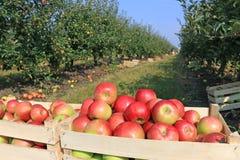Vagn mycket av äpplen Arkivfoto