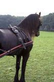 vagnsfriesianhäst Royaltyfria Bilder