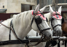 Vagnshästar Royaltyfria Bilder