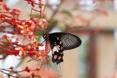 vago della farfalla che succhia nettare dallo stame di rosso della punta del fiore Fotografia Stock