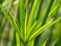 Vago di Reed Branch immagine stock