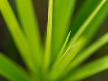 Vago di Reed Leaf fotografia stock