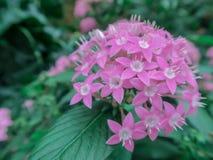 Vago vicino sul fiore di Lucky Star Deep Pink o sul sanguinea della cornina nel giardino immagini stock