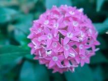 Vago vicino sul fiore di Lucky Star Deep Pink o sul sanguinea della cornina nel giardino immagine stock libera da diritti