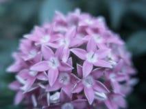 Vago vicino sul fiore di Lucky Star Deep Pink o sul sanguinea della cornina nel giardino fotografie stock