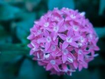 Vago vicino sul fiore di Lucky Star Deep Pink o sul sanguinea della cornina nel giardino fotografia stock