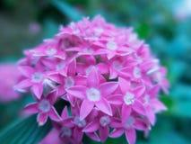 Vago vicino sul fiore di Lucky Star Deep Pink o sul sanguinea della cornina nel giardino fotografia stock libera da diritti