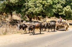 Vagoni dello zebù vicino a Antsiranana, Madagascar Fotografia Stock