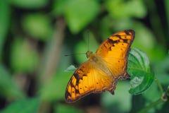 vagrans egista бабочки Стоковое Изображение RF