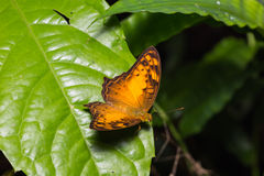 Vagrant butterfly in nature Royalty Free Stock Photos