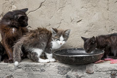 Vagrant cats. Drinking milk near the old walls of the house Stock Photography
