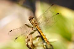Vagrant Darter Dragonfly stock photos