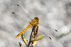 Vagrant Darter Dragonfly Stock Image