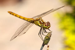 Vagrant Darter Dragonfly Royalty Free Stock Photography