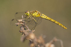 Vagrant Darter Stock Photography