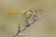 Vagrant Darter Stock Photos