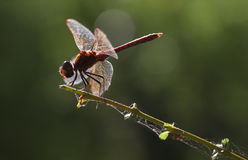 Vagrant darter or Sympetrum. Backlight red Vagrant darter or Sympetrum vulgatum dragonfly with green background with bokeh in summer Stock Photography