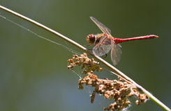 Vagrant darter or Sympetrum. Resting red Vagrant darter or Sympetrum vulgatum dragonfly at the waterside in summer Royalty Free Stock Photo