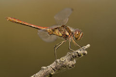 Vagrant Darter Royalty Free Stock Photography