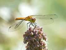 Vagrant darter (Sympetrum vulgatum) Royalty Free Stock Photos