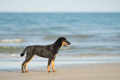 Vagrant dog on the beach. Sea background Stock Image