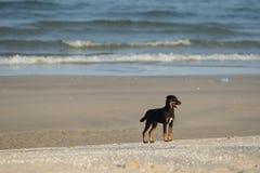 Vagrant dog on the beach. Sea background Royalty Free Stock Photos