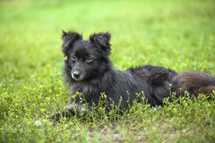 Vagrant dog. Vagrant  black  dog lying down on a green lawn Royalty Free Stock Image