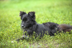 Vagrant dog. Vagrant  black  dog lying down on a green lawn Royalty Free Stock Images