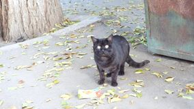 Vagrant street cat looking at the camera.  stock video footage