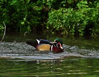 Wood duck - Aix sponsa royalty free stock photos