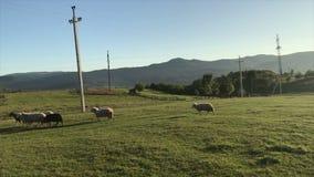 Vagué des moutons malades et boiteux de troupeau dépêchez-vous au stylo banque de vidéos