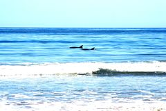 Vague déferlante de dauphins Images libres de droits