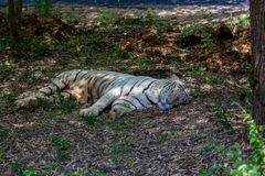 Vaguear branco raro do tigre selvagem fotos de stock