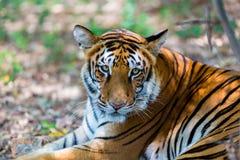 Vaguear do tigre selvagem fotografia de stock royalty free