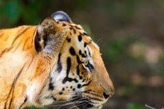 Vaguear do tigre selvagem fotografia de stock