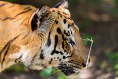 Vaguear do tigre selvagem foto de stock royalty free