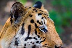 Vaguear do tigre selvagem Imagens de Stock