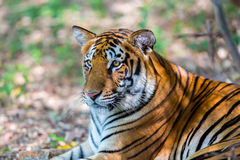 Vaguear do tigre selvagem Imagens de Stock Royalty Free