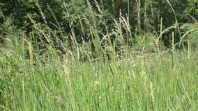 Vagues de champ de blé déplacées banque de vidéos