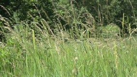 Vagues de champ de blé déplacées clips vidéos