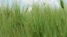 Vagues de champ de blé déplacées par le vent banque de vidéos