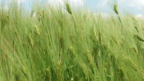 Vagues de champ de blé déplacées par le vent clips vidéos