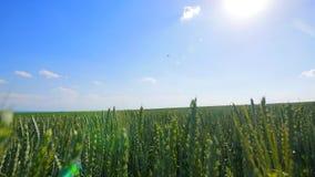 Vagues de champ de blé déplacées par le vent Pan Nature Background d'été banque de vidéos