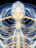 The vagus nerve Stock Image