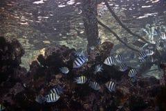 vaigiensis för sergeant för abudefdufindo Stillahavs- Arkivfoton
