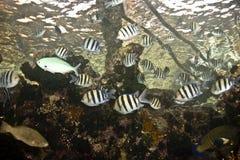vaigiensis sergeant indo abudefduf Тихое океан Стоковые Фотографии RF