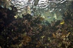vaigiensis sergeant indo abudefduf Тихое океан Стоковые Изображения RF