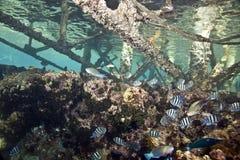 vaigiensis sergeant indo abudefduf Тихое океан Стоковые Изображения