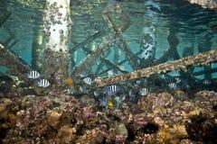 vaigiensis sergeant indo abudefduf Тихое океан Стоковое фото RF